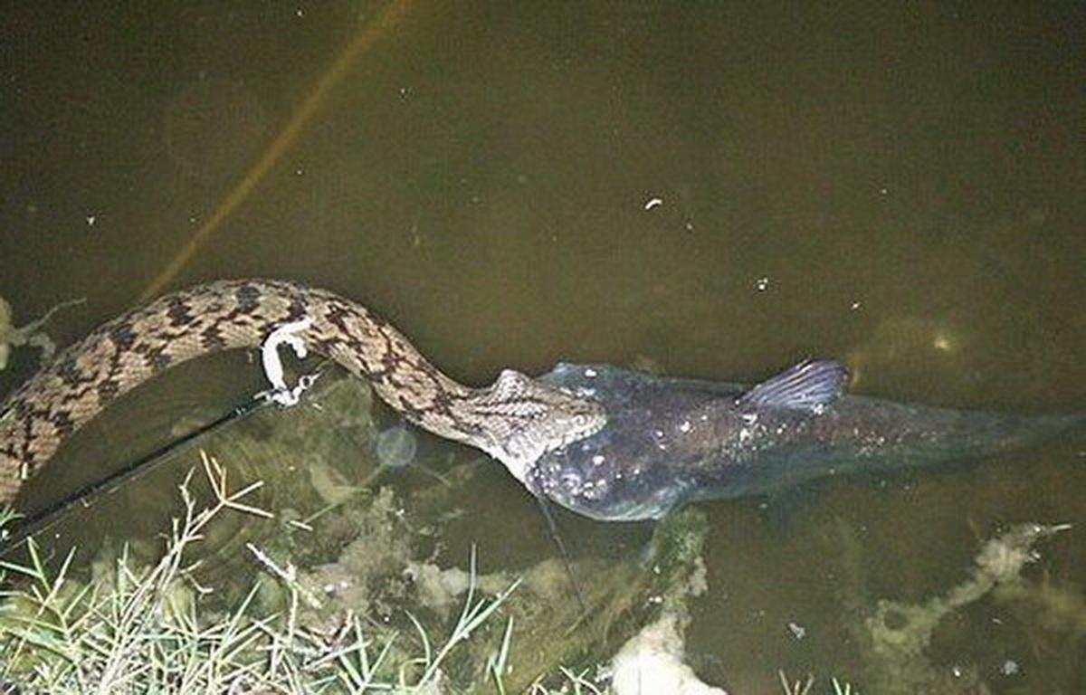 змея ловящая рыбу